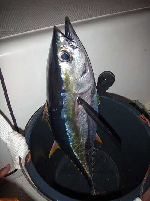 Yellowfin dinner