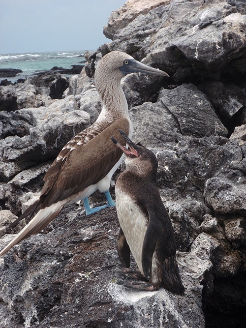 Blue-footed booby and penguin