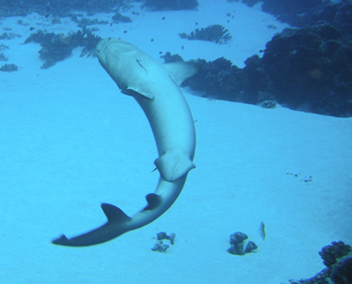 Grey reef shark does a flip