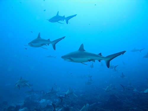 Blackfin sharks