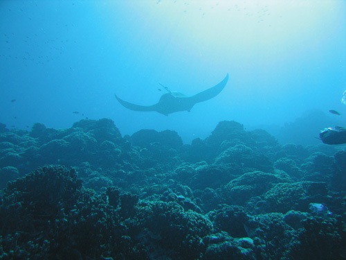 Pregnant manta ray swims above the reef. You can tell she's pregnant because of the bump on her back.
