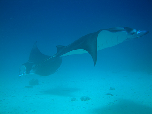 These mantas crossed right in front of us on the bottom.