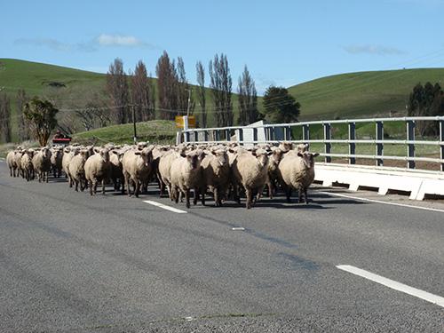 Sheep crossing!