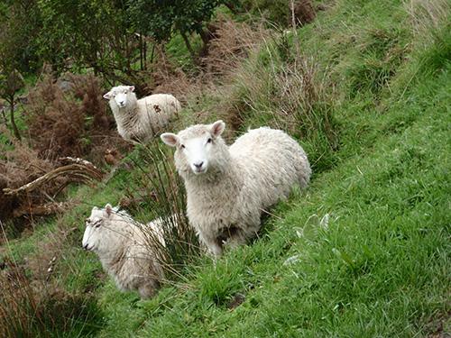 Sheep along the hike