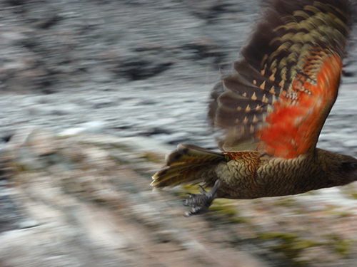 Kea in flight. Just missed his beak!