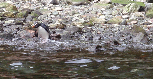 Endangered Fiordland crested penguin