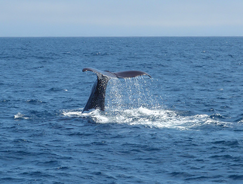 Sperm whale tail fluke