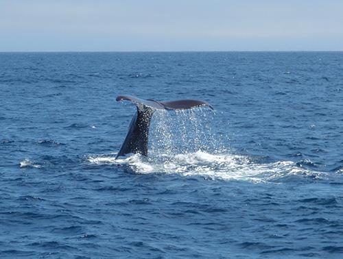 Sperm whale tail fluke
