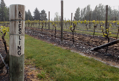 Riesling vines outside Renwick, Marlborough