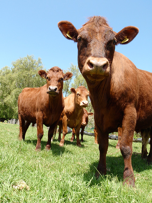 Coromandel Mussel Kitchen's gang of cattle